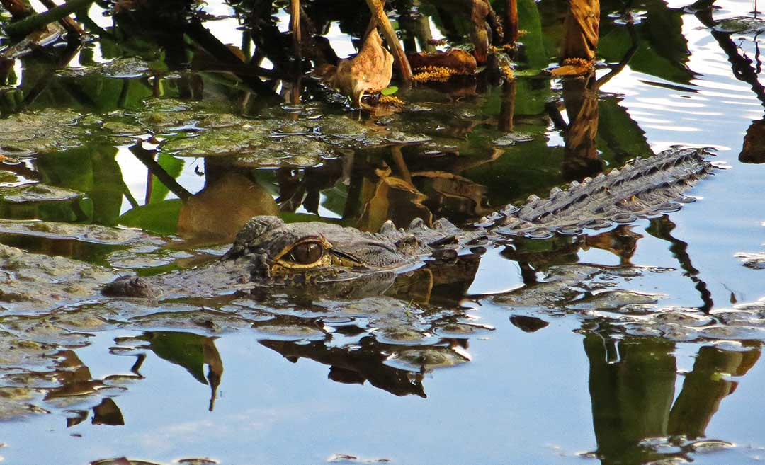 Ojo del caimán